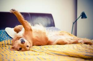 Golden retriever is enjoying bedroom.